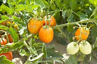 Tomato on Tree, France