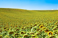 Sunflower Field in France