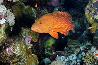 Given its distinctive colour pattern the coral hind Cephalopholis miniata is not too difficult to identify Despite appearing to live a solitary exista...