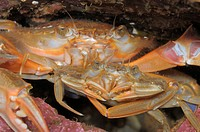 Male harbour crab Liocarcinus depurator is holding the female in a nuptial embrace The male is waiting for the female to cast her shell in order to co...