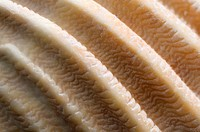 Close_up abstract image of the surface pattern and texture of a scallop shell on Hunstanton beach