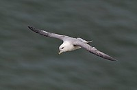 Fulmar Fulmarus glacialis riding the thermals at Bempton cliffs