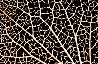 Close_up abstract of the delicate structure of a hydrangea petal skeleton showing an intricate pattern Garden, Norfolk