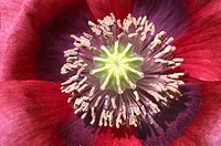 Abstract close up of oriental poppy flower centre Papaver orientale