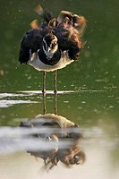 northern lapwing Vanellus vanellus, bathing, Germany