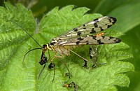 Scorpion fly Panorpa communis Female eating remains of prey on leaf in woodland