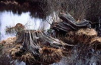 Landscape abstract of old oak tree stumps showing the sculptured lines and texture in the wood, situated in a pond on a Dorset heath