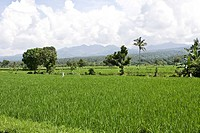 Rice fields, rice patties near Senggigi, Lombok Island, Lesser Sunda Islands, Indonesia