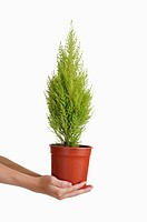 Human hands holding a potted plant of cypress tree