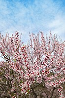 Almond flower trees field in spring season pink white flowers