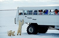polar bear Ursus maritimus, standing erect with cubs at expedition bus with photographers, Canada, Manitoba, Hudson Bay, Churchill