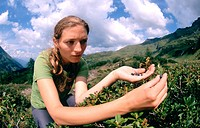 Young woman picking blueberries along the Tauerngold Hiking Trail, Rauris, Upper Tauern, Salzburger Land, Austria, Kolm_Saigurn Hohe Tauern, Oesterrei...
