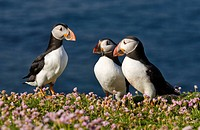 Atlantic puffin, Common puffin Fratercula arctica, three individuals greeting each other, United Kingdom, Scotland, Shetland Islands, Fair Isle