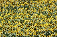 DEU, Germany : Field of sunflowers