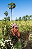 Woman harvesting rice, Takeo Province, Cambodia
