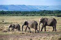 Elephant family, Game drive at Mara River, Masai Mara National Reserve, Kenya, Africa