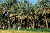 men in field under palm trees,Sultanate of Oman,Arabian Peninsula,Asia
