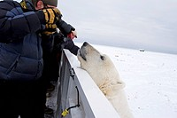 Polar bear (Ursus maritimus) looking over the railing of a Tundra Buggy Churchill, Manitoba, Canada