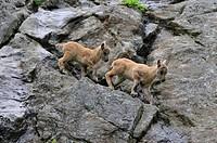 alpine ibex Capra ibex, two juveniles climbing in a rock wall, Alps