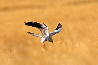 montague´s harrier Circus pygargus, flying over cornfield with the claws stretched out for catching prey, Greece, Lesbos