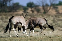 Gemsbok males fighting Oryx gazella gazella in the Kalahari desert, Kgalagadi Transfrontier Park, South Africa