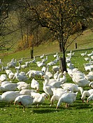 domestic goose Anser anser f. domestica, white geese grazing