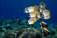 A school of Eye-Patch, Panda, or Philippine butterflyfish, Chaetodon adiergastos, swimming over the reef with a pair of horned bannerfish, Heniochus v...