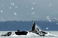 Humpback whale bubble net feeding for herring near Juneau with gulls overhead during Summer in Southeast Alaska