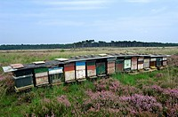 Beehives in heathland, Kalmthoutse Heide, Belgium