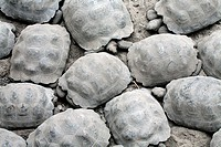 Baby Galapagos giant tortoises Geochelone elephantopus are bred in captivity on the island Isabella, Galapagos