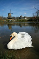 Mute swan Cygnus olor on windmill pool in the Hessenpark, Neu-Anspach, Taunus, Hesse, Germany