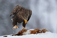 white_tailed sea eagle Haliaeetus albicilla, on dead red fox, Norway, Namdal, Troendelag, Flatanger, Lauvsnes