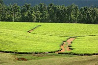 tea plant Camellia sinensis, Thea sinensis, Tea Plantation, Australia, Queensland, Atherton Tablelands