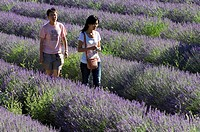Tourists walking in lavender field Lavendula sp in the Provence, France