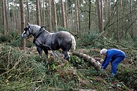 Foresters dragging tree_trunks from forest with draught horse Equus caballus, Belgium