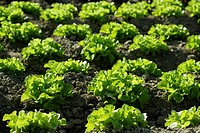 Green lettuce country in Spain  Sunny day outdoors
