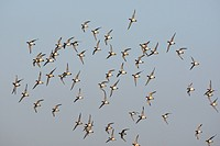 Wigeon Anas penelope flock in flight above field in winter, Damme, Belgium
