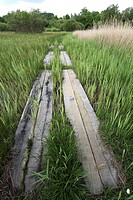 Boardwalk / Raised wooden walkway through marshland, Torfbroek, Belgium