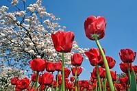 Red tulips Tulipa sp. and Japanese cherry tree Prunus serrulata in flower garden of Keukenhof, the Netherlands