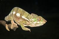 Panther Chameleon Furcifer pardalis, Madagascar
