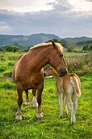 Horses Equus caballus  Mare and colt in a pasture