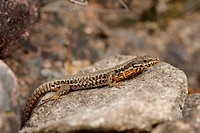 common wall lizard Lacerta muralis, Podarcis muralis, lying on a stone, Germany, Black Forest