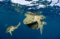 Green turtles mating. The green turtle Chelonia mydas is critically under threat of extinction and is a protected species. Photographed off Sipadan, S...