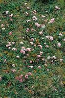 Asperula aristata subsp. Oreophila in flower.