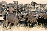 African buffalo herd Syncerus caffer. This species of buffalo is found on the savannahs and woodlands of sub_Saharan Africa. It feeds on grasses and o...