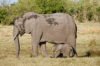 African elephant and calf. African elephants Loxodonta africana are herbivores and are the largest and heaviest land animals alive today. Adult female...