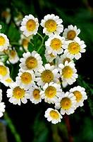 Feverfew Tanacetum parthenium syn. Chrysanthemum parthenium in flower in the summer.
