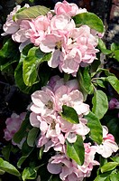 Apple tree blossom and foliage Malus ´Arthur Turner´ in the spring.