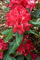 Flowers and foliage of Rhododendron ´Feuershein´.
