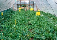 Courgette Cucurbita pepo plants growing in a polytunnel. Polytunnels are tunnels made of polythene. They a form of temporary greenhouse that allow the...